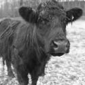 cowwoodchester