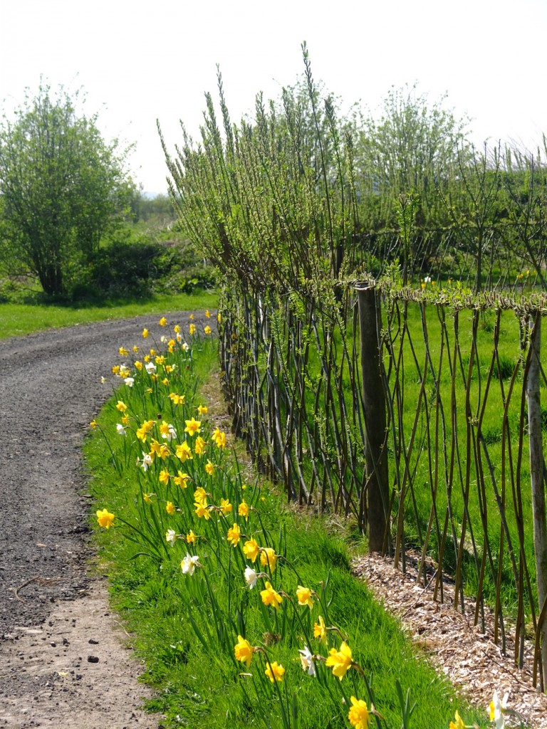 Willow Fedge with Daffodils